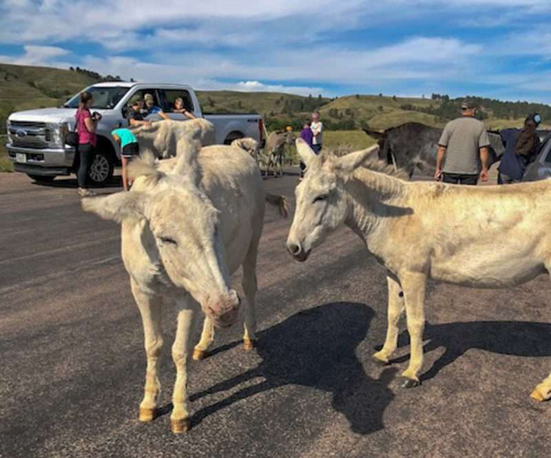 Burros greet tourists at Wildlife Loop in Custer State Park
