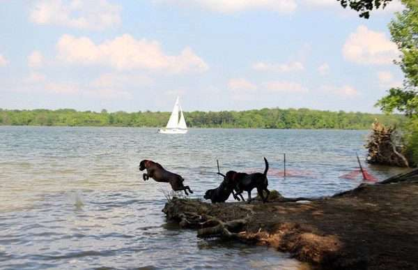 Three large dogs jump into the lake at Alum Creek State Park's dog beach.