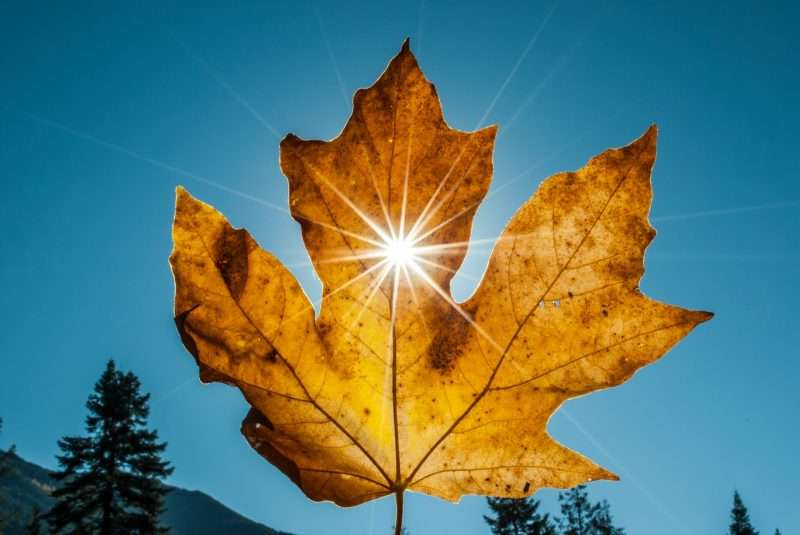 A sunflare through a freshly fallen yellow leaf.