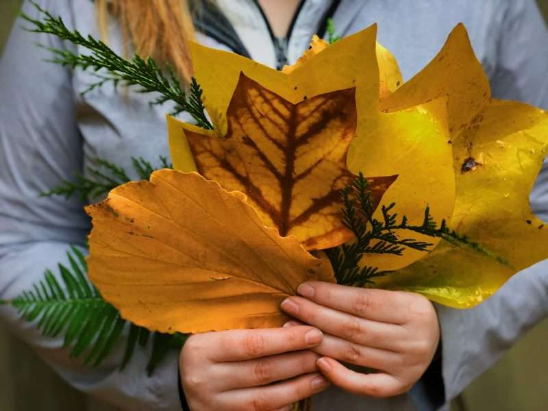 Leaf gathering is a fun fall activity for kids of all ages. Here a person holds several different types of freshly fallen leaves in front of their chest. The leaves are bright yellow and green.