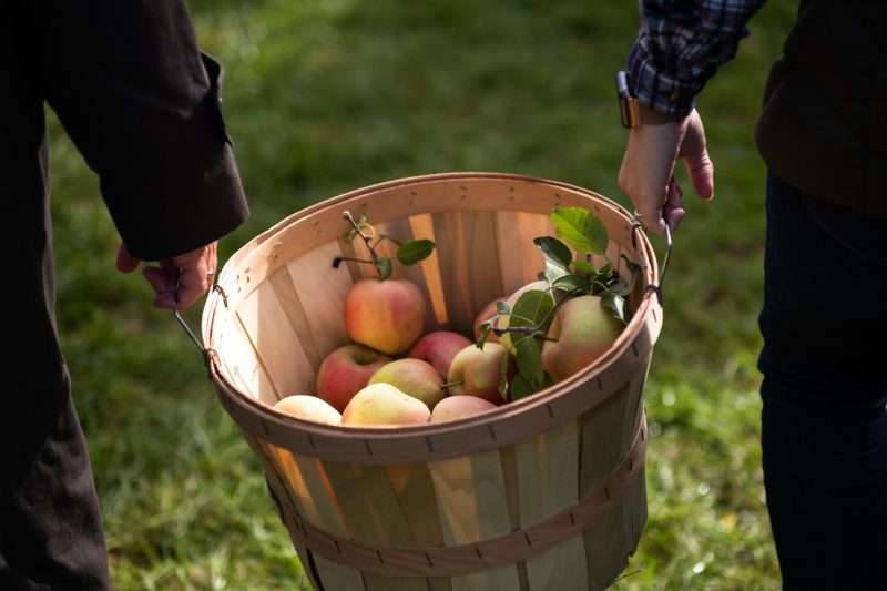A wooden basket half filled with apples is carried by two people.