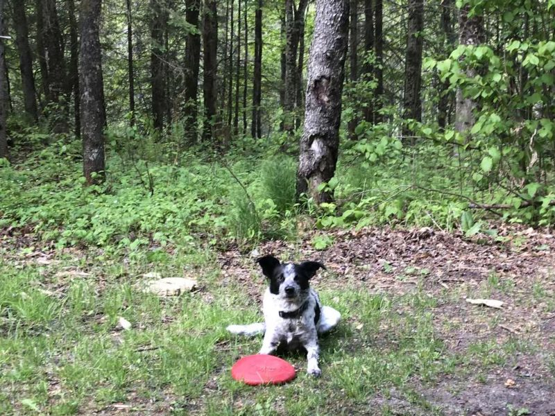 A black and white dog lays in the grass with a red frisbee near the woods.