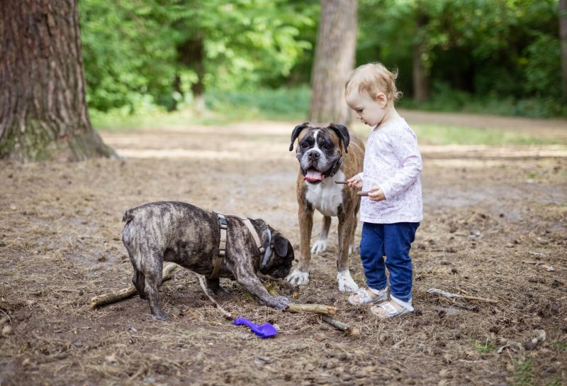 A toddler picks up sticks with her two dogs at a campground.